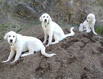 well-bred livestock guardian dogs you can own from Devil's Gulch Ranch